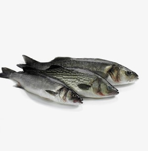 Striped American Sea Bass